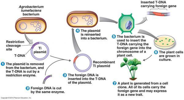 Utilizarea Agrobacterium tumefaciens în ingineria genetică