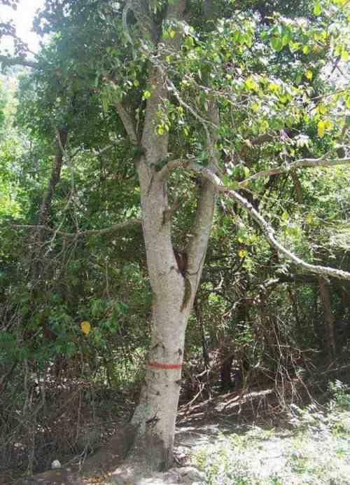 Arborele morții