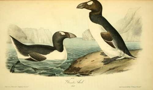 Marele pinguin nordic