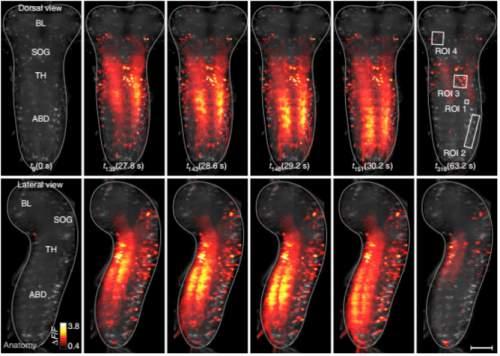 Activitatea neuronală din sistemul nervos central al larvelor de Drosophila