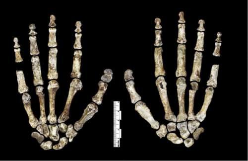 Degetele lui Homo Naledi