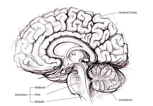 Anatomia structurală a creierului
