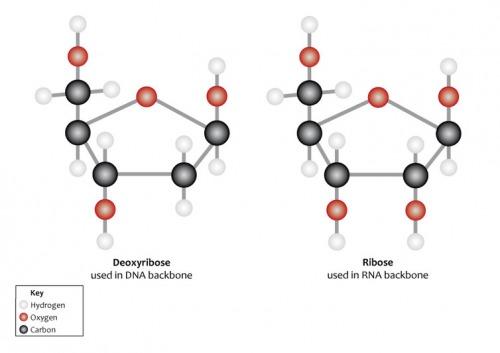Riboza este coloana vertebrală a ARN-ului