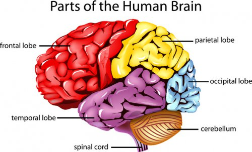 Structurile creierului uman