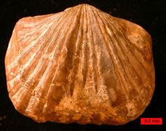 Brahiopode