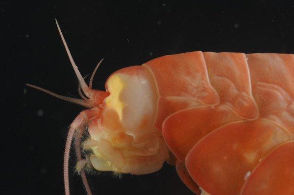 Crustaceu amfipod