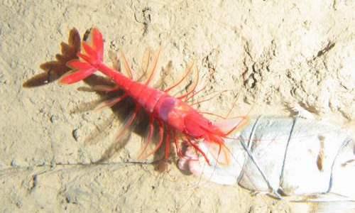 Un crevete în Groapa Kermadec