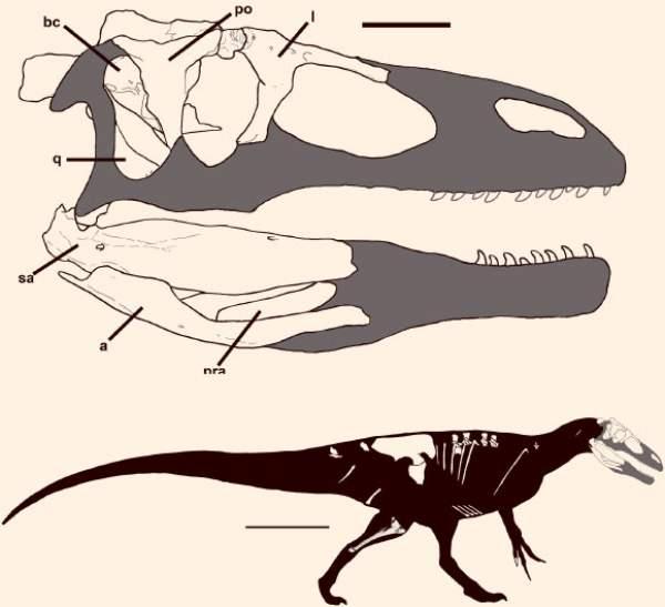 Reconstrucția craniului și corpului unui dinozaur Murusraptor barrosaensis