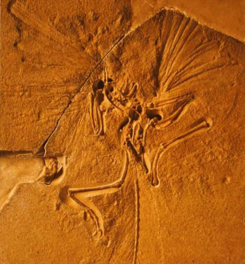 Fosila unui Archaeopteryx
