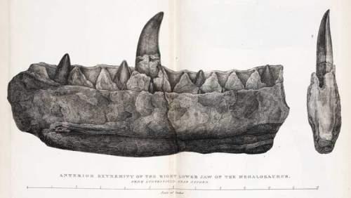 Maxilarul unui Megalosaurus
