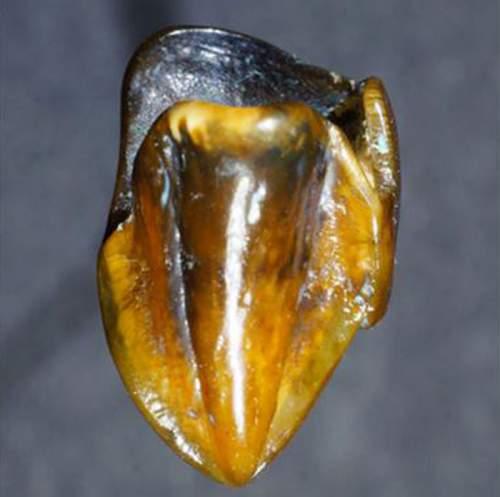 Dinte fosilizat având o vechime de 9,7 milioane ani