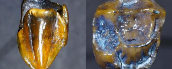 Dinți fosilizați având o vechime de 9,7 milioane ani