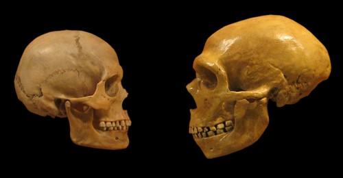 Cranii de om modern și de neandertalian