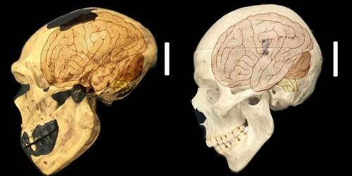 Craniul omului de Neanderthal și craniul de Homo Sapiens