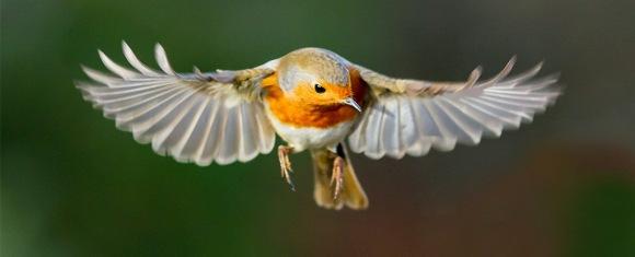 Cum simt păsările câmpul magnetic al Pământului