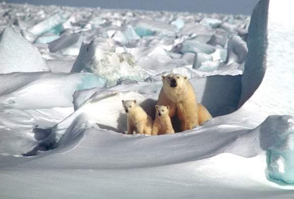 Urșii polari