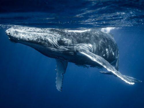Balena cu cocoasă