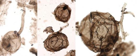 Cele mai vechi fosile ale vieții multicelulare pe uscat