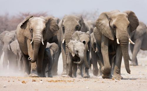 Elefanții trăiesc în grupuri sociale sofisticate