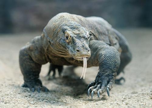 Reptilele nu sunt părinți buni