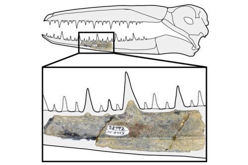 Maxilar fosilizat de Pelagornitide