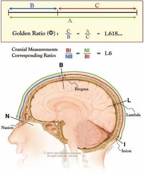 Raportul de aur identificat în craniul uman