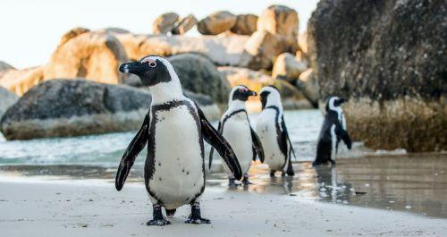 Sateliții permit studiul pinguinilor