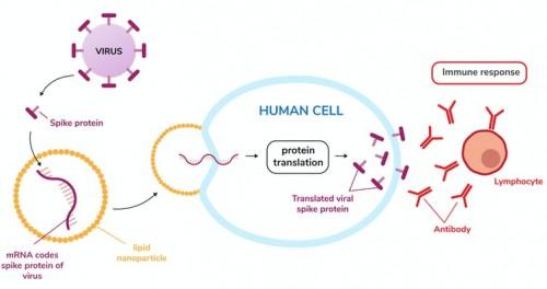 Vaccinurile ARN mesager